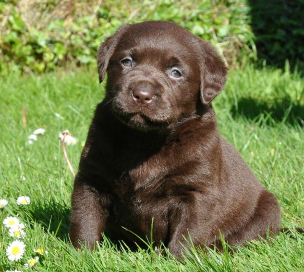 Chocolate Labrador Puppies Labrador Breeders Uk