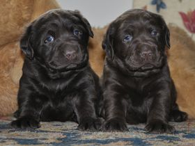 Chocolate Puppies